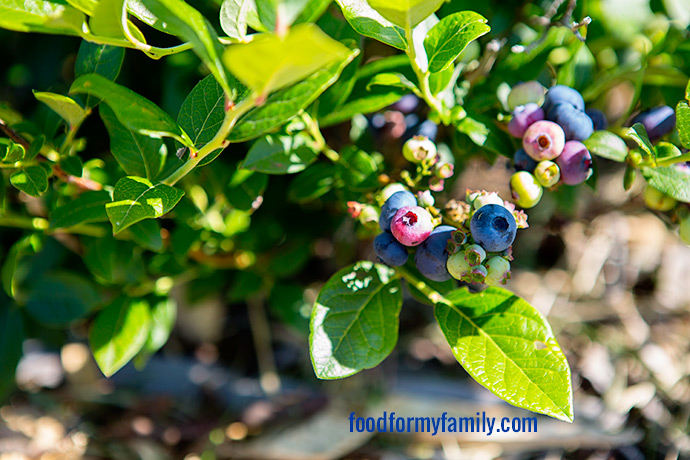 Blueberry Picking with Your Kids: Our Trip to Little Hill Berry Farm via FoodforMyFamily.com